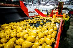 Russia, Omsk - September 26, 2014: vegetable factory. Russia, Omsk - September 26, 2014: Potato sorting, processing and packing factory Druzhino, vegetable in Stock Images