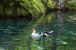 Pond with ducks in the Vorontsov park. Russia, the Republic of Crimea, the city of Alupka. 06.06.2018 Stock Photos