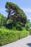 Vorontsov Park. Italian pine - Pinia. Russia, the Republic of Crimea, the city of Alupka. 06/09/2018 Royalty Free Stock Photography