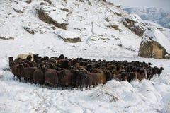 Russia, Republic of Kabardino-Balkaria. Sheep`s graze on the Alp Stock Photo
