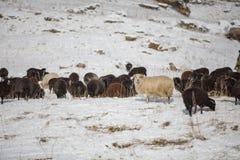 Russia, Republic of Kabardino-Balkaria. Sheep`s graze on the Alp Royalty Free Stock Photo