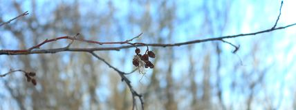 Russia.Russian forest. Spring in Russia. RussiaRossiya.Russkiy vesna.Vesna v Rossii.raspuskayutsya leaves, buds near trees, clear plldgda in the forest..Russian Stock Photography