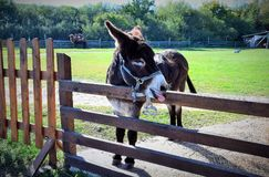 Donkey at the fence in the paddock Safari Park royalty free stock images