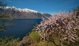 Flowering apricots on Teletskoe lake in the Altai Mountains. stock images