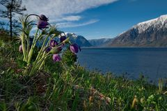 Late spring on the shore of lake Teletskoye. royalty free stock images