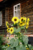 Russia. the sunflowers. Stock Photography