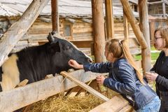 Russia, Suzdal, September 2017. Children feed the cow in a pen from their hands. Stock Images