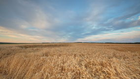 Clouds over the vast fields of ripe wheat in the middle of summer at sunset. Russia, time lapse. Clouds over the vast fields of ripe wheat in the middle of stock footage