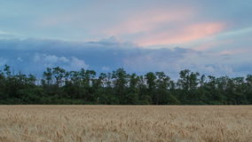 Clouds over the vast fields of ripe wheat in the middle of summer at sunset. Russia, time lapse. Clouds over the vast fields of ripe wheat in the middle of stock video footage
