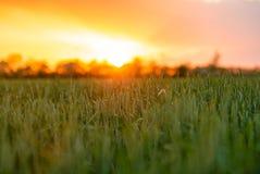 Russia Village Sunset Field Bright Sun Spring Wheat.  stock photos