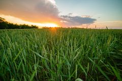 Russia Village Sunset Field Bright Sun Spring Wheat.  royalty free stock photography