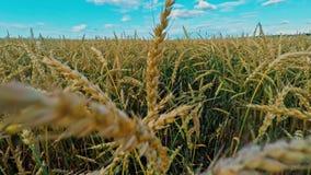 Russia, Vladimirskaya region, ripe rye stock video footage