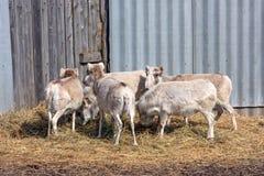 Russian antelope or Saiga tatarica. Flock of female saiga antelope or Saiga tatarica in winter colouration Stock Image
