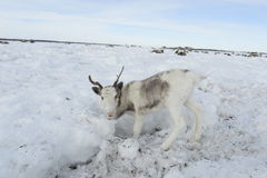 Russian Arctic Aboriginal ! Stock Photo