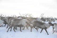 Russian Arctic Aboriginal ! Stock Images