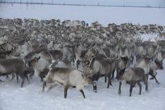 Russian Arctic Aboriginal ! Stock Photography
