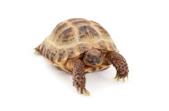 Russian Asian tortoise over white Stock Images