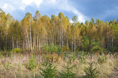 Russian autumn forest Royalty Free Stock Image