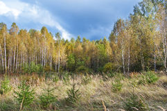 Russian autumn forest. Glade in autumn birch wood with small fur-trees Royalty Free Stock Photo