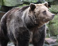 Russian Bear. He first long look before making Stock Photography