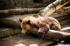 Russian bear. A brown Russian bear lying on the fallen tree Royalty Free Stock Photography
