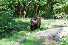 The Russian bear on walk. Wild animals in the habitat Stock Photos