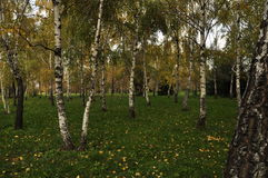 Russian birch Stock Photos