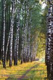 Russian birch alley natural background Royalty Free Stock Photography