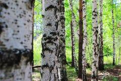Russian birch Stock Photography