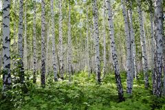 Russian birch forest. Is clean and light after the rains in the bright sun royalty free stock photography