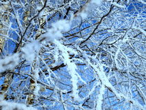 Russian birch in the snow. Beautiful Russian birch in the snow in the cold Royalty Free Stock Image