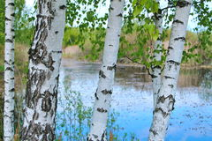 Russian birch Stock Photo