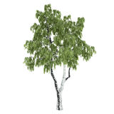 Russian Birch Tree Isolated. On white Stock Photo
