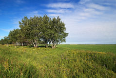 Russian birch trees on the a green meadow. Stock Photography