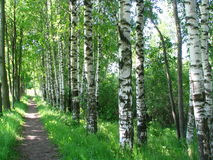 Russian birches Stock Photos