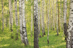 Russian birches Royalty Free Stock Photos