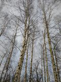 Russian birches going high into the sky royalty free stock image