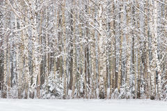 Russian Birches. Russian Winter landscape with snow-covered birch forest. Trunks of birch trees and snow in the winter forest. Win stock images