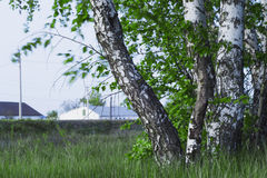 Russian birches Royalty Free Stock Photography