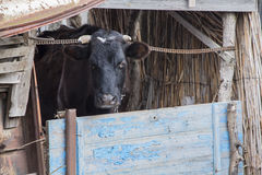 Russian black cow. In the paddock stock photo