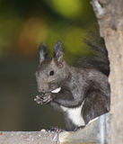 Russian Black Squirrel Stock Images