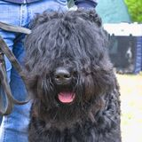 Russian black terrier for a walk royalty free stock photos