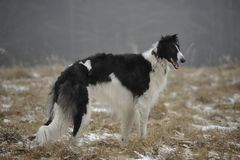 Russian borzoi dog on the winter meadow. Russian, black and white, large, haired, beautiful, elegantly, sublime, borzoi, chart dog calmly stands on the winter Royalty Free Stock Images