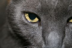 Russian Blue Royalty Free Stock Images