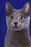 Russian blue Royalty Free Stock Photo
