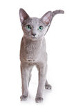 Russian Blue Stock Photo