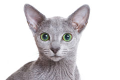 Russian Blue Royalty Free Stock Image