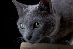 Russian Blue Stock Image