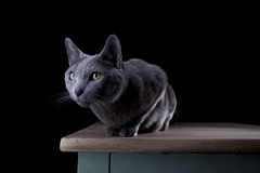Russian Blue Stock Images