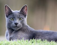 Russian Blue with Attitude. This Russian Blue cat is a fierce hunter. This photo captures his intensity royalty free stock photography